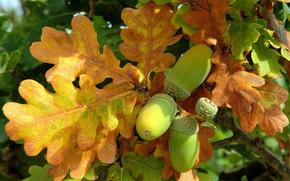 Картинка осень, настроение, дуб, жёлудь