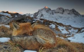 Обои Савойя, Франция, Вануаз, природа, горы, лисица, лиса