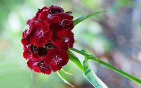 Картинка макро, лепестки, соцветие, китайская гвоздика