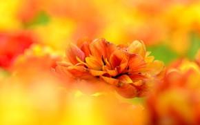 Картинка яркий, лепестки, тюльпаны