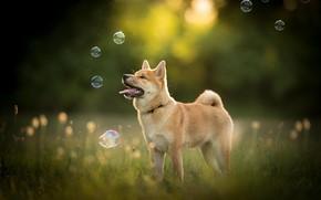 Картинка природа, собака, мыльные пузыри, пёс