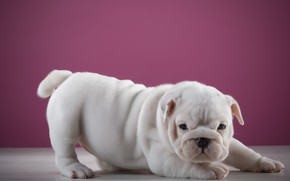 Картинка Собака, кроха, малышка, розовый фон
