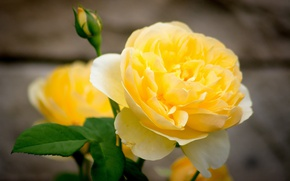 Картинка макро, лепестки, бутон, Жёлтая роза