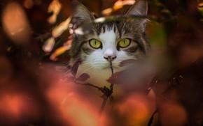 Картинка кошка, кот, взгляд, ветки, мордочка, боке