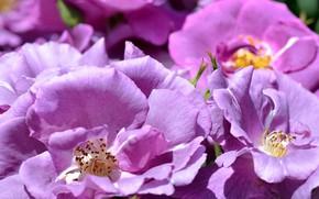 Картинка фиолетовый, розы, лепестки
