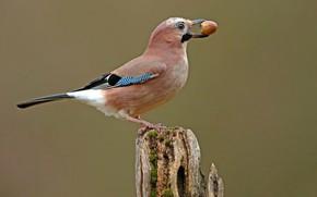 Картинка птицы, пень, жёлудь, сойка