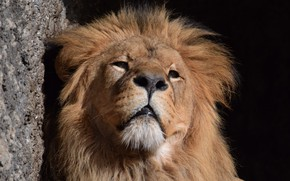Обои грива, лев, морда