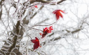 Картинка зима, иней, макро, листва, красная