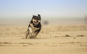 Картинка песок, собака, бежит