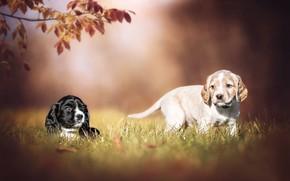 Картинка щенки, парочка, пёсики, собаки, боке