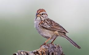 Картинка птица, клюв, хвост, воробей Кассина
