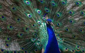 Обои животные, взгляд, свет, синий, зеленый, птица, хвост, павлин, красавец, грудка, раскрытый, распушил