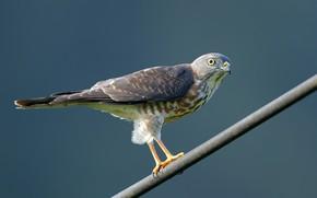 Картинка птицы, хищник, короткопалый ястреб
