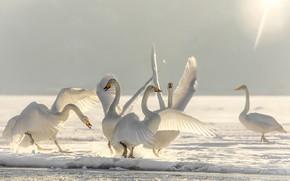 Картинка зима, снег, птицы, лёд, танец, лебеди, балет, Лебединое озеро
