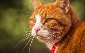 Обои кошка, кот, усы, взгляд, портрет, мордочка, рыжая