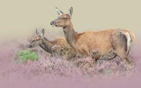 Картинка пара, животные, олени, природа