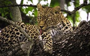 Картинка ветки, дерево, хищник, леопард, дикая кошка