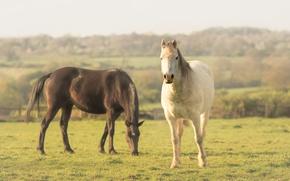 Картинка поле, белый, лето, небо, трава, облака, свет, природа, настроение, конь, газон, лошадь, спокойствие, забор, кони, ...