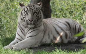 Картинка кошка, белый, взгляд, тигр