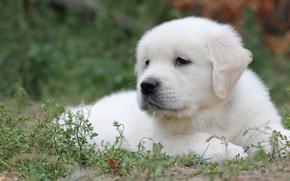 Картинка белый, трава, щенок, лабрадор, ретривер