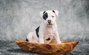 Картинка собака, щенок, амстафф, Американский стаффордширский терьер