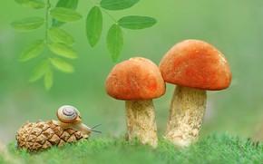 Обои подосиновики, улитка, грибы, шишка, листочки