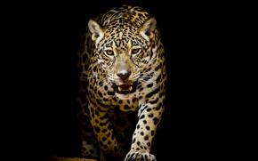 Обои леопард, фон, черный