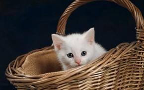 Обои взгляд, белый котёнок, мордочка, фон, малыш, котенок, корзина