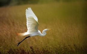Картинка фон, крылья, взлёт, цапля, белая цапля