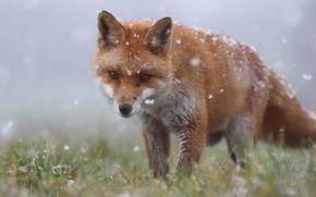 Картинка лиса, трава, морда, зима, рыжая, лисица, снегопад, снег, дикая природа