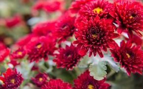 Картинка цветы, красный, куст, цветение, хризантемы