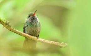 Картинка природа, птица, ветка, клюв, колибри