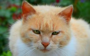 Обои Макро, Cat, Кошка