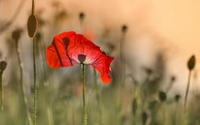 Картинка цветы, маки, лето