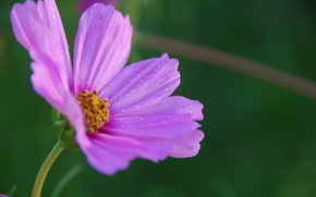 Картинка Капли, Боке, космея, Bokeh, Drops, Фиолетовый цветок, Purple flower, Kosmeya