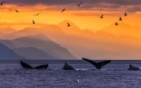 Картинка горы, птицы, Аляска, хвост, США, горбатые киты
