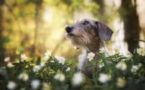 Картинка морда, цветы, портрет, собака, боке, Такса, Ветреница дубравная