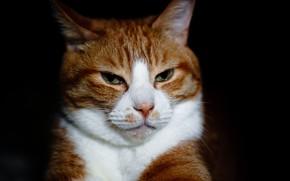 Картинка кот, взгляд, рыжий