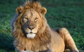 Картинка лев, Африка, дикая кошка
