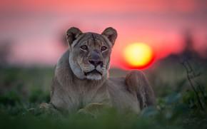 Картинка взгляд, закат, портрет, львица, дикая кошка