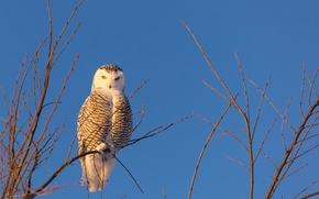Обои птица, полярная сова, ветки, небо, сова