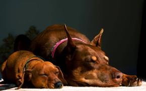 Картинка такса, коричневые, милашки, спят, доберман