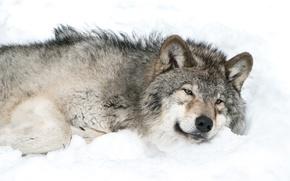 Обои снег, серый, волк, в ожидании весны