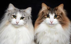 Картинка взгляд, кошки, пара