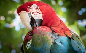 Картинка птица, цвет, перья, попугай, забавный, Зеленокрылый ара