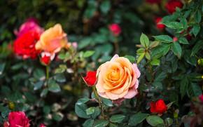 Картинка цветы, куст, розы, желтые, лепестки, красные, бутоны