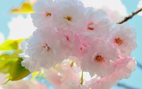 Картинка листья, цветы, весна, ветвь
