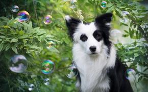 Картинка взгляд, пузыри, друг, собака, Бордер-колли