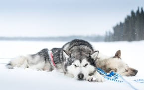 Картинка холод, собаки, снег