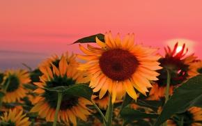 Картинка Природа, Лето, Рассвет, Подсолнухи, Nature, Sunrise, Summer, Sunflowers